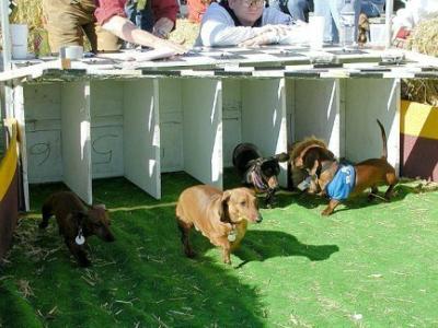 mardi gras weiner dog race